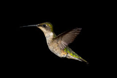 Ruby-Throated Hummingbird Royaltyfri Fotografi