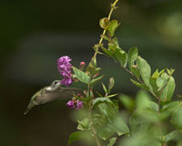 Ruby-Throated Hummingbird Arkivbild