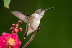 Ruby Throated Hummingbird. Alighting on twig near nectar feeder Royalty Free Stock Images