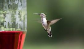 Ruby Throated Hummingbird all'alimentatore dell'uccello del nettare, Clarke County, Georgia U.S.A. immagine stock
