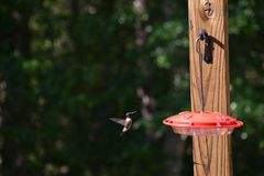 Ruby Throated Hummingbird Approaches Feeder imagenes de archivo
