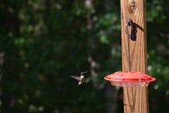 Ruby Throated Hummingbird Approaches Feeder stockbilder