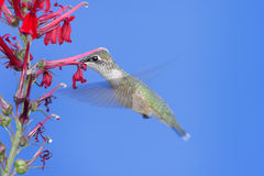 Ruby-throated Hummingbird (archilochus colubris). Immature Ruby-throated Hummingbird (archilochus colubris) in flight with red Cardinal flowers and a blue sky stock image