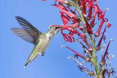 Ruby-throated Hummingbird (archilochus colubris). Immature Ruby-throated Hummingbird (archilochus colubris) in flight with red Cardinal flowers and a blue sky stock photo