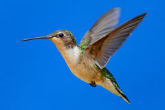 Ruby-throated Hummingbird (archilochus colubris). Female Ruby-throated Hummingbird (archilochus colubris) in flight with blue background royalty free stock photos