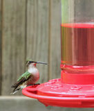 Ruby-throated Hummingbird, Archilochus colubris Stock Photos