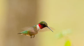 Ruby-Throated Hummingbird(archilochus colubris) Royalty Free Stock Image
