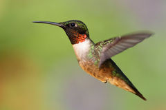 Ruby-throated Hummingbird (archilochus colubris). Male Ruby-throated Hummingbird (archilochus colubris) in flight with a green background stock images