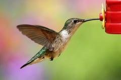 Ruby-throated Hummingbird (archilochus colubris). Juvenile male Ruby-throated Hummingbird (archilochus colubris) in flight at a feeder stock image