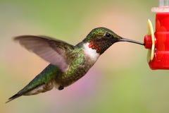 Ruby-throated Hummingbird (archilochus colubris). Juvenile male Ruby-throated Hummingbird (archilochus colubris) in flight at a feeder royalty free stock photo