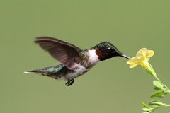 Ruby-throated Hummingbird (archilochus colubris). Male Ruby-throated Hummingbird (archilochus colubris) in flight with a yellow flower and a green background stock image