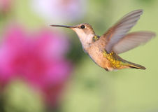 Ruby-throated Hummingbird (archilochus colubris). Female Ruby-throated Hummingbird (archilochus colubris) flying in front of flowers stock images