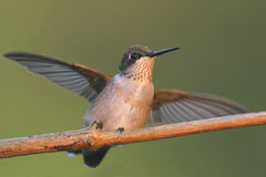 Ruby-throated Hummingbird (archilochus colubris). Juvenile male Ruby-throated Hummingbird (archilochus colubris) on a branch royalty free stock images