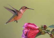 Ruby-throated Hummingbird (archilochus colubris). Flying near a purple flower royalty free stock image