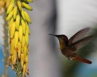 Ruby-throated hummingbird ( archilochus colubris). Feeding on flower Stock Photos