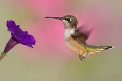 Ruby-throated Hummingbird (archilochus colubris). Juvenile Ruby-throated Hummingbird (archilochus colubris) in flight with a pruple flower stock images