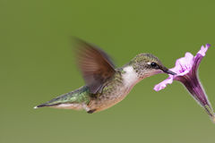 Ruby-throated Hummingbird (archilochus colubris). Juvenile Ruby-throated Hummingbird (archilochus colubris) in flight with a purple flower stock photography