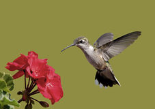 Ruby-throated Hummingbird (Archilochus colubris) Stock Photography