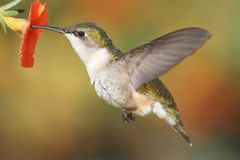 Ruby-throated Hummingbird (archilochus colubris) Royalty Free Stock Images