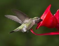 Ruby Throated Hummingbird (Archilochus colubris) female flying t Royalty Free Stock Photos