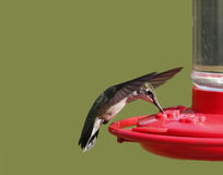 Ruby-throated Hummingbird (Archilochus colubris) Stock Image