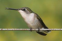 Ruby-throated Hummingbird (archilochus colubris) Stock Image