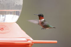 Ruby-throated Hummingbird (Archilochus colubris) Hovering Next t Stock Image