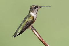 Ruby-throated Hummingbird archilochus colubris. Juvenile Ruby-throated Hummingbird archilochus colubris on a copper perch with a green background stock images