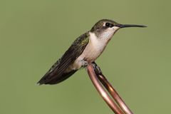 Ruby-throated Hummingbird archilochus colubris. Juvenile Ruby-throated Hummingbird archilochus colubris on a copper perch with a green background royalty free stock images