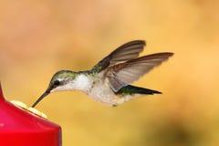 Ruby-throated Hummingbird & x28;archilochus colubris& x29;. Juvenile male Ruby-throated Hummingbird & x28;archilochus colubris& x29; in flight at a feeder royalty free stock photo