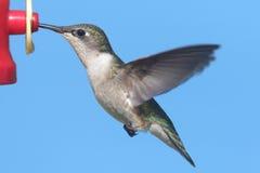 Ruby-throated Hummingbird (archilochus colubris) Stock Photography