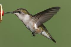 Ruby-throated Hummingbird (archilochus colubris) Royalty Free Stock Image
