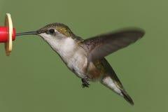 Ruby-throated Hummingbird (archilochus colubris) Royalty Free Stock Photo