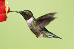 Ruby-throated Hummingbird (archilochus colubris) Royalty Free Stock Photos