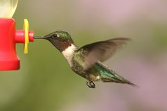 Ruby-throated Hummingbird archilochus colubris Royalty Free Stock Photo