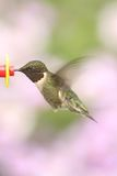 Ruby-throated Hummingbird & x28;archilochus colubris& x29;. Male Ruby-throated Hummingbird & x28;archilochus colubris& x29; in flight at a feeder with flowers in stock image