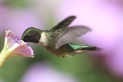 Ruby-throated Hummingbird (archilochus colubris). Male Ruby-throated Hummingbird (archilochus colubris) in flight with a flower and a colorful background stock images