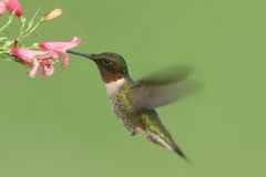 Ruby-throated Hummingbird (archilochus colubris). Male Ruby-throated Hummingbird (archilochus colubris) in flight with a flower and a green background stock photography