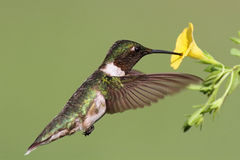 Ruby-throated Hummingbird (archilochus colubris). Male Ruby-throated Hummingbird (archilochus colubris) in flight with a yellow flower and a green background royalty free stock photo