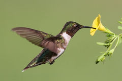 Ruby-throated Hummingbird (archilochus colubris). Male Ruby-throated Hummingbird (archilochus colubris) in flight with a yellow flower and a green background royalty free stock image