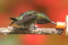 Ruby-throated Hummingbird & x28;archilochus colubris& x29;. Male Ruby-throated Hummingbird & x28;archilochus colubris& x29; on a perch with a colorful background stock photo