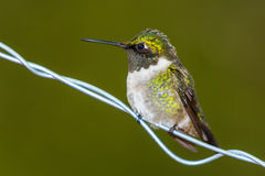 Ruby throated hummingbird Archilochus colubris. Perched on a wire stock images