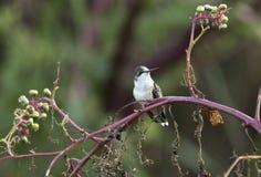 Ruby Throated Hummingbird perched on pokeweed, Georgia USA royalty free stock photo