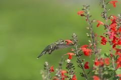 Side view of a Hummingbird feeding on red sage stock photos