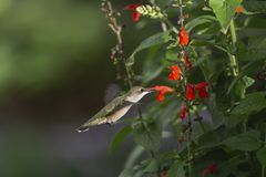 In the Sunbeam. Ruby-throated Hummingbird, Archilocus colubris, feeding on red Sage, Salvia coccinea, He is in the spotlight of a sunbeam royalty free stock image