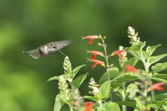 Tiny and Fresh. Ruby-throated Hummingbird, Archilocus colubris, feeding on the tiny buds of red Sage, Salvia coccinea. They also feed at the base of the flower royalty free stock image