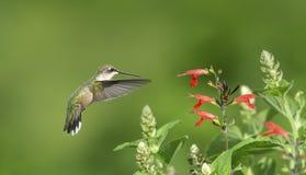 Hummingbird Watching a Wasp royalty free stock photos