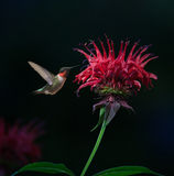 Ruby-throated Hummingbird on Bee Balm Stock Image