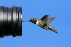 Ruby-throated Hummingbird With A Camera Stock Photography