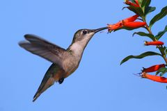 Ruby-throated Hummingbird at a Cigar Flower Royalty Free Stock Image
